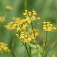 ミシマサイコ属 晩夏~秋 ごく小さな黄色い花