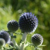 ヒゴタイ属 晩夏から初秋に球形の青い花