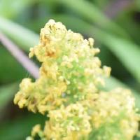 ヤエムグラ属 晩夏にごく小さな黄色い花