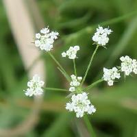 ヌマゼリ属 夏 ごく小さな白い花をややまばらな散形