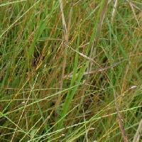 ミズトンボ属 葉は細長く茎に沿うように付く