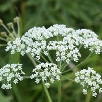 シムラニンジン属 晩夏~初秋 ごく小さな白い花を散状