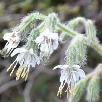 フクオウソウ属 初秋に小さな白い花