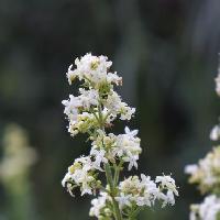 ヤエムグラ属 晩夏にごく小さな白い花