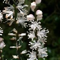 サラシナショウマ属 初秋に小さな白い花を塔状