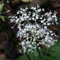 カノツメソウ属 晩夏~初秋 ごく小さな白い花