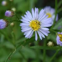 シオン属 秋二薄青の花