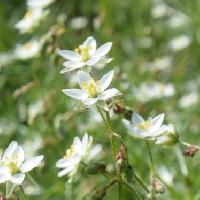 オオツメクサ属 春~夏 小さな白い5弁花