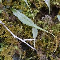 チャセンシダ科 狭卵形 先端が糸のように細長く伸びる葉