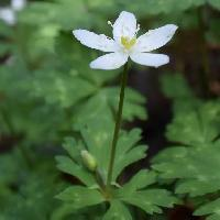 イチリンソウ属 晩春 白い花