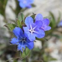 ムラサキ属 春~初夏 青紫