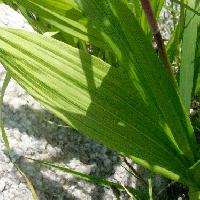 シラン属 細長い葉