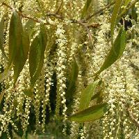 コナラ属 春にクリーム色の房状の花
