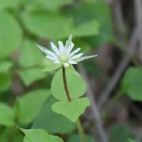 ハコベ属 晩春~初夏 小さな白い花