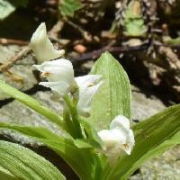 キンラン属 晩春に小さな白い花