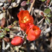 ボケ属 晩春に赤い花