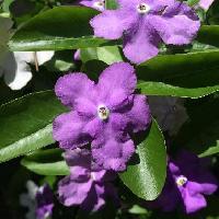 ブルンフェルシア属 晩春~初夏 赤紫色の花