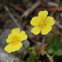 キジムシロ属 晩春~初夏 小さな黄色い花
