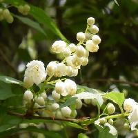 ウツギ属 晩春 白い花