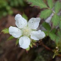 キイチゴ属 晩春から初夏に白い花