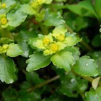 ネコノメソウ属 春 極小さい黄色い花