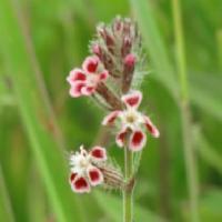 マンテマ属 晩春から初夏に白い縁取りのある小さな赤い花