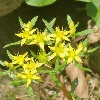 マンネングサ属 晩春~初夏 小さな黄色い花