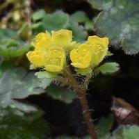 ネコノメソウ属 初春 小さな黄色い花