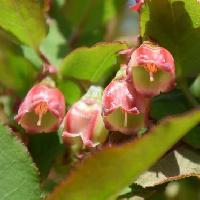 スノキ属 晩春 赤みを帯びた小さな白い花