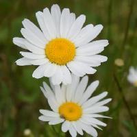 フランスギク属 晩春に白い花