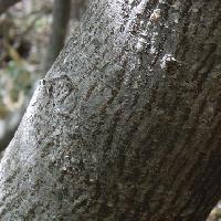 カエデ属 灰色で縦方向の茶褐色の皮目
