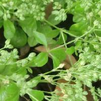 ヨツバハコベ属 葉は楕円形で4輪生 全縁