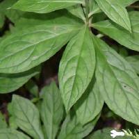 サワルリソウ属 葉は全縁の倒卵形で互生