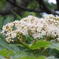 ナナカマド属 初夏に小さな白い花