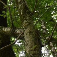 カエデ属 幹は白褐色