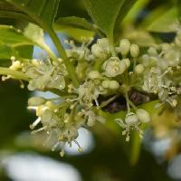モチノキ属 初夏に小さな白い雄花