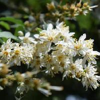 ウツギ属 初夏に小さな白い花