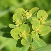 トウダイグサ属 初夏に小さな黄緑色の花