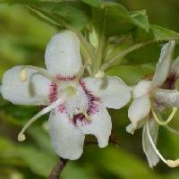 ツツジ属 初夏に白い花