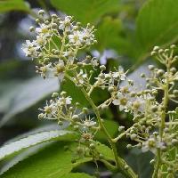 クロヅル属 夏に小さな白い5弁花を房状