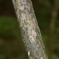 スイカズラ属 灰褐色で縦に浅く割れる