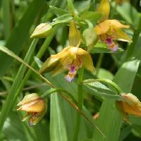カキラン属 初夏に紫条黄橙色の花