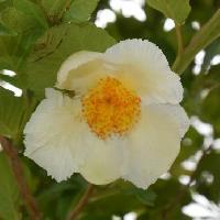 ナツツバキ属 初夏 白い5弁花