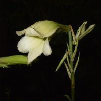 ウバユリ属 夏 淡い黄緑色の花