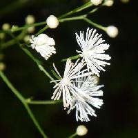カラマツソウ属 夏に白い花糸を放射状につける