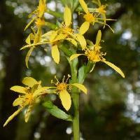 メタカラコウ属 夏黄色い花
