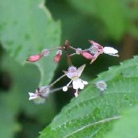 ミズタマソウ属 晩夏にごく小さな白い花
