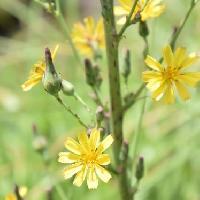 アキノノゲシ属 晩夏-初秋 黄色い花