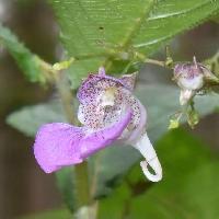 ツリフネソウ属 晩夏~初秋 赤紫の花を葉の下につける