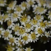 シオン属 晩夏~初秋 小さな白い花を多数